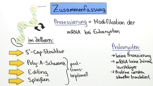 Prozessierung – RNA-Modifikation bei Eukaryoten – Biologie online lernen