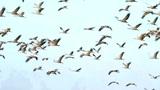 Der Vogelzug des Kranichs