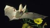 Die Fledermaus – Körperbau und Kommunikation