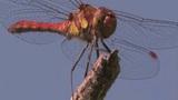 Libelle – Arten und Gefährdung