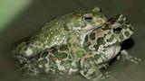 Amphibien – Entwicklung und Metamorphose