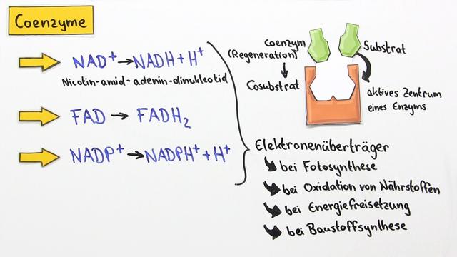 Cofaktoren – Einteilung, Struktur und Funktion – Biologie online lernen