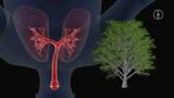 Die Lunge des Menschen: Der Bau der Lunge