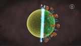 Viren: Wie sind Viren aufgebaut