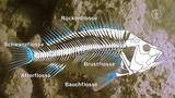 Einheimische Süßwasserfische: Körperbau und Fortbewegung