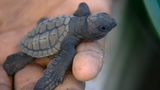 Meeresschildkröten in Gefahr