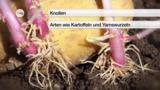 Ungeschlechtliche Fortpflanzung von Blütenpflanzen