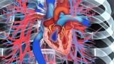 Herz und Blutkreislauf beim Menschen