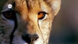 Gepard – das schnellste Landtier