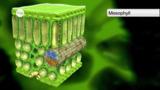Aufbau der Pflanzen: Die Blätter