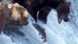 Wanderfische – Der Pazifische Lachs
