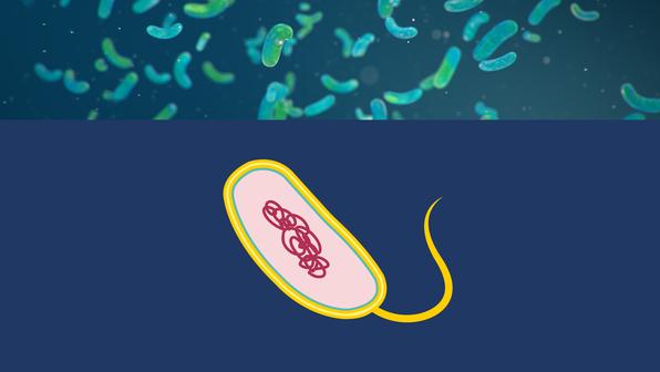 Bakterien – Aufbau