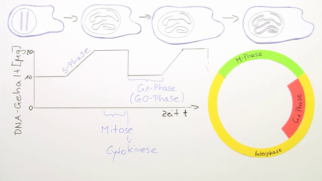 Zellzyklus – (Basiswissen) – Biologie online lernen