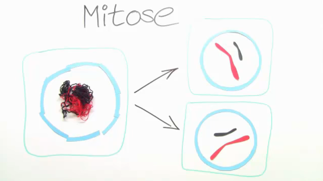 Mitose – Lerne die Grundlagen der Zellteilung