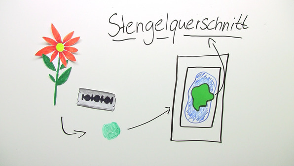 Das Präparat – Herstellung von Präparaten für das Mikroskop