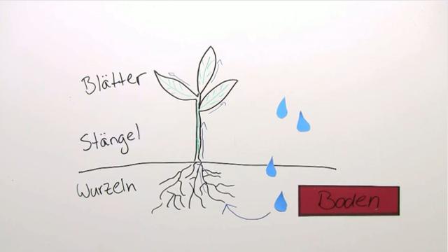 Wasseraufnahme & Wassertransport - Erstaunlich Einfach Erklärt!