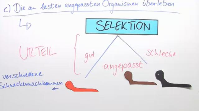Die Selektion – Darwins Evolutionstheorie – Biologie online lernen