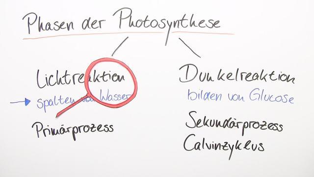 Fotosynthese – Bedeutung und Lichtaufnahme der Pflanzen