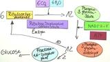 Fotosynthese - Die lichtunabhängige Reaktion