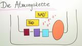 Atmungskette – Energiegewinnung im Mitochondrium