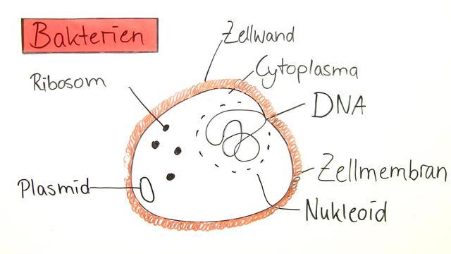Aufbau Einer Zelle Arbeitsblatt : Aufbau struktur von bakterien erstaunlich einfach erklärt