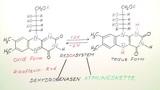 Riboflavin und Folsäure