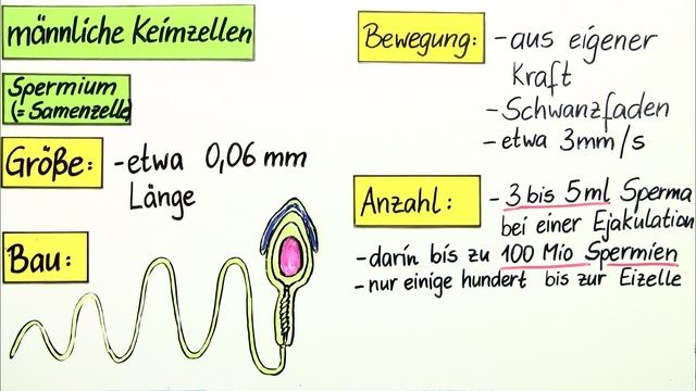 Männliche Keimzellen - Spermien