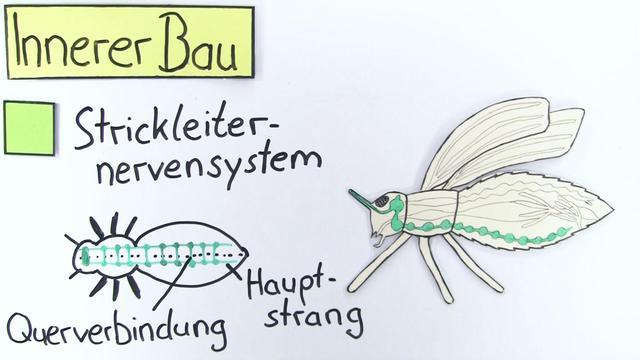 Bau der Insekten