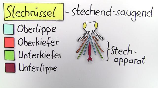 Mundwerkzege von Insekten - in 4 Minuten erklärt