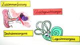 Das Ohr – Ein Gleichgewichtsorgan