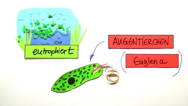 Einzeller – das Augentierchen Euglena – Biologie online lernen