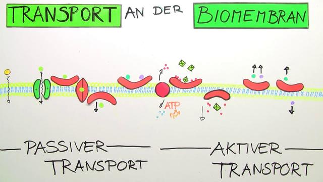 Stofftransport durch Biomembranen - erstaunlich einfach erklärt!