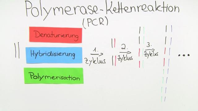PCR – Vervielfältigung von DNA