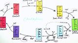 Citratzyklus (Vertiefungswissen)