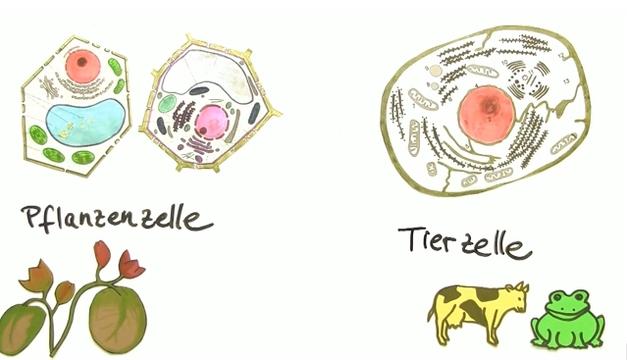 Vergleich Tierzelle und Pflanzenzelle