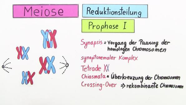 Mitose 1 titelbild