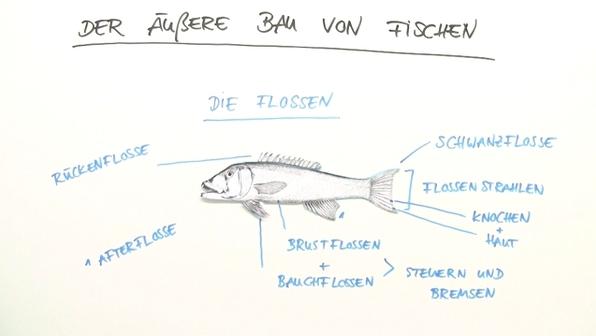 Fische – äußerer Bau