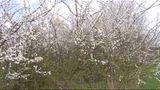 Die Hecke im Frühling