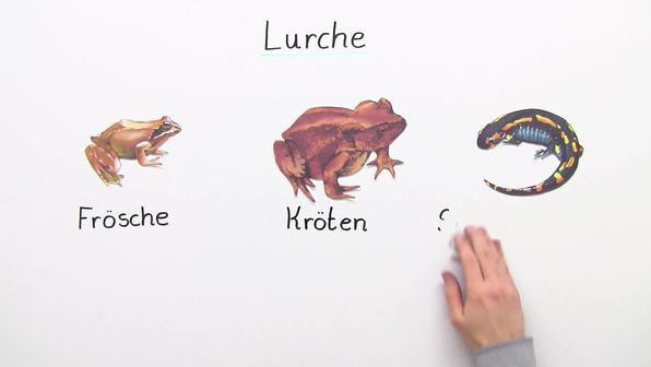 Lurche – Bau und Lebensweise