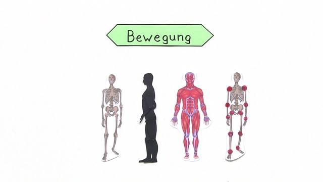 Bewegung als Zusammenspiel von Knochen, Muskeln und Sehnen online lernen