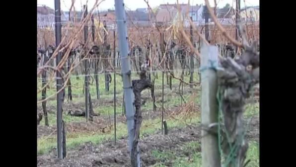 Weinbau - Von der Traube zum Wein
