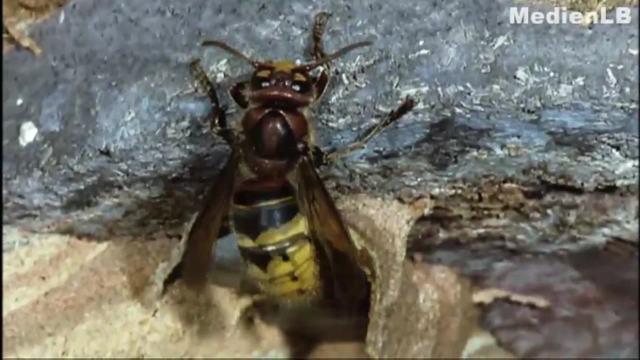 Wie leben Hornissen, Honigbienen und Hummeln?