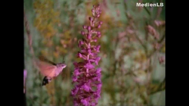 Der Schmetterling - Auf Nahrungssuche