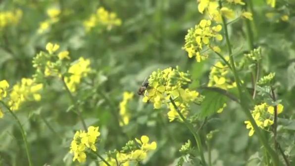 Ölpflanzen - Raps, Sonnenblume, Kürbis