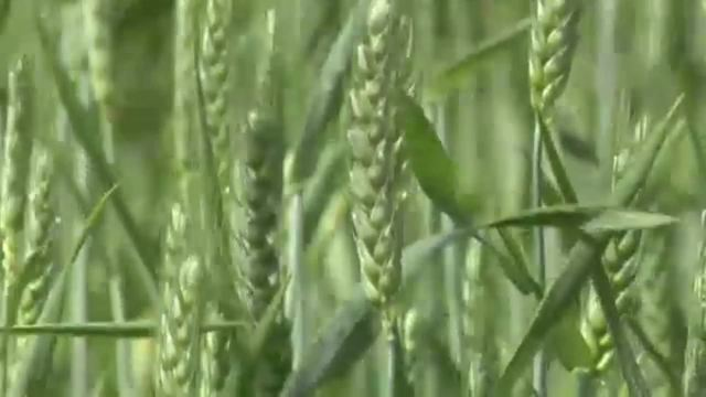 Getreide - Geschichte des Korns