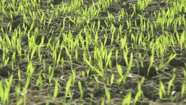Getreide - Vom Korn zum Mehl