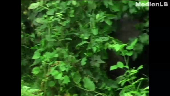 Menschenaffen - Gorillas