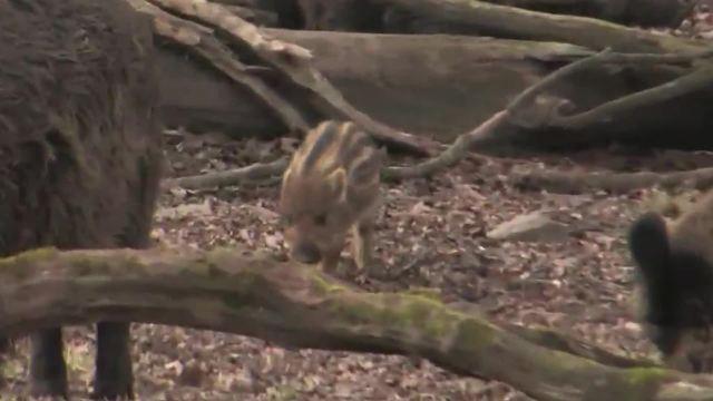 Das Wildschwein – Überblick