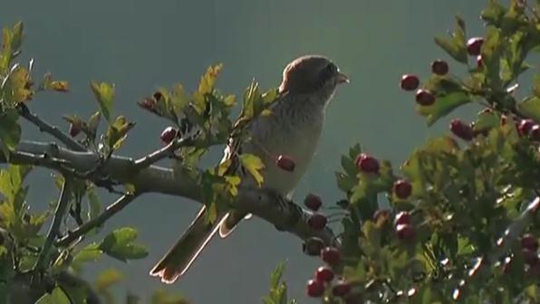 Die Hecke - Lebensraum für Vögel