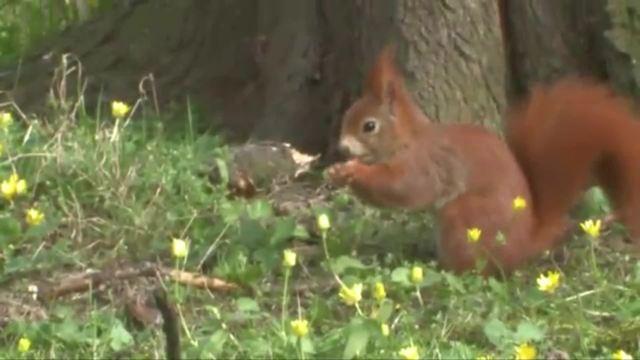 Das Eichhörnchen - Aussehen